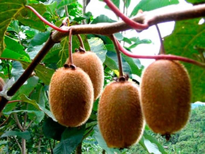 Польза и вред плодов киви
