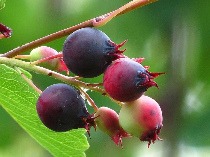 Полезные свойства и противопоказания ягоды ирги