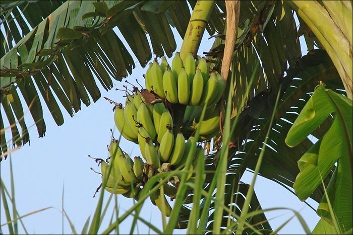 Полезные свойства бананаов