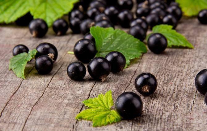Заготовка и сбор ягод черной смородины