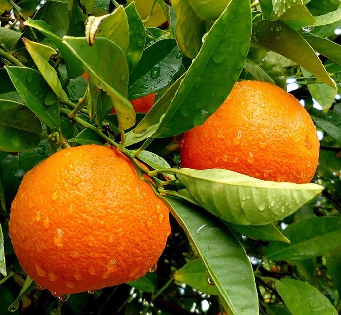 Польза апельсинов для здоровья человека