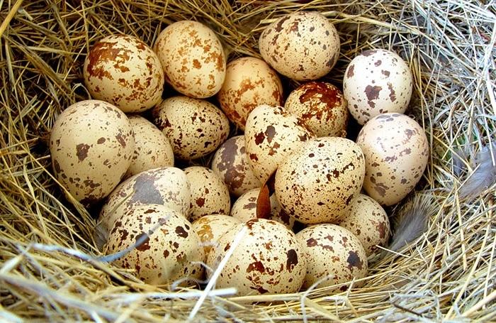 Польза и вред перепелиных яиц для организма