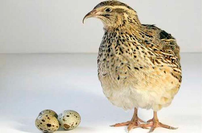 Как употреблять перепелиные яйца