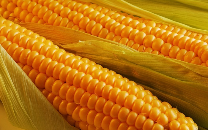 Вред кукурузы для здоровья человека