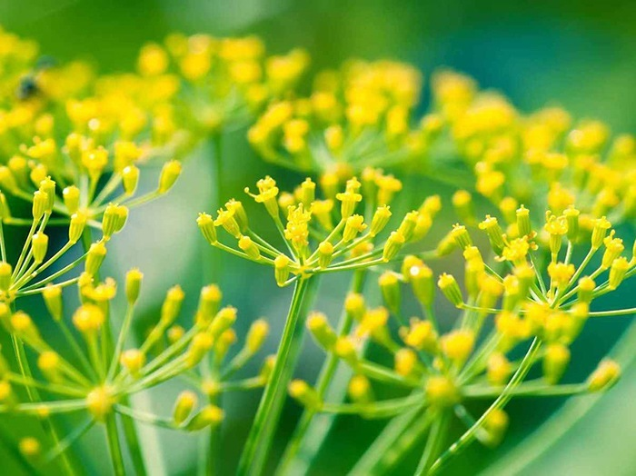 Чем полезен зеленый укроп для организма
