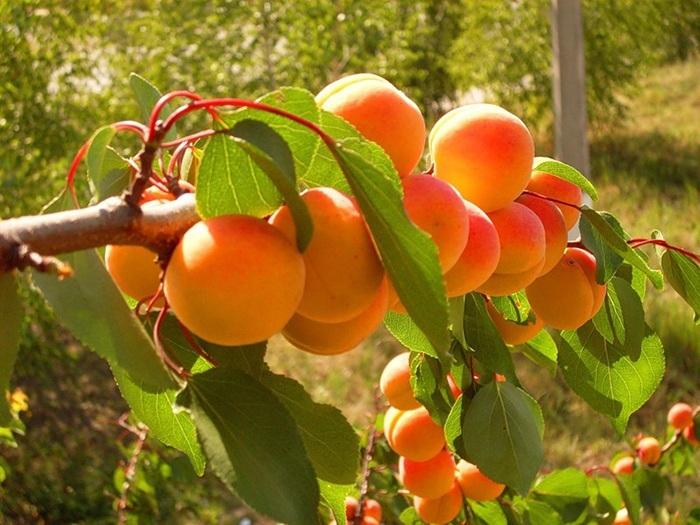 Жердела и абрикос - в чем разница