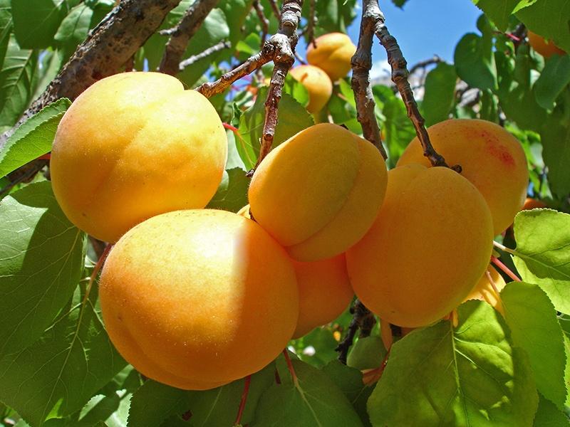 Полезные свойства свежевыжатого абрикосового сока для организма