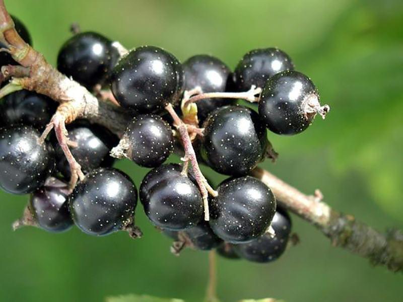 Польза свежевыжатого сока черной смородины для организма