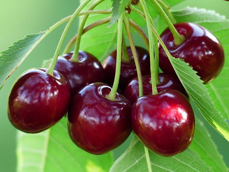 Польза свежевыжатого вишневого сока для здоровья