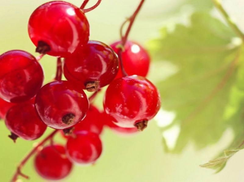 Полезные свойства свежевыжатого сока красной смородины