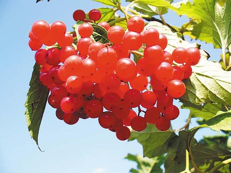 Полезные свойства свежевыжатого сока калины для организма